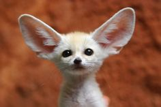 The World's Smallest Fox Found in North Africa, Fennec foxeshave thick fur to keep them warm through cold desert nights and huge ears to release heat during the hot day. Fur also covers their feet to protect them from the searing daytime sand. While locals hunt them for fur, others seek them out as pets because of their irresistible appearance. Still, not much is known about the size and health of the fennec population. [Source: National Geographic]  Photo: Floridapfe/Getty