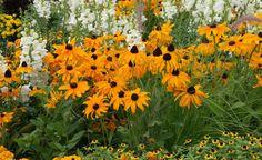 Blütenreichtum und Leuchtkraft des Gelben Sonnenhuts (Rudbeckia fulgida) sind im spätsommerlichen Garten konkurrenzlos. Die wichtigste Sorte ist 'Goldsturm'; sie hat die größten Blüten und die längste Blütezeit (Juli bis September). Die etwa 70 cm hohen Pflanzen neigen zwar leicht zur Ausläuferbildung, lassen sich aber im Staudenbeet gut im Zaum halten. Sie gedeihen am besten auf nährstoffreichen, nicht zu trockenen Böden und brauchen einen vollsonnigen Standort.