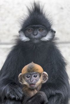 Francois langur • by Official San Diego Zoo on Flickr.