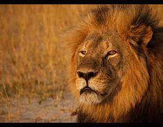 Cecil the lion's final photographs