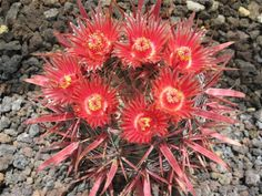 Ferocactus gracilis v. coloratus