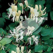 Lonicera japonica 'Halliana' Honeysuckle - 3 litres