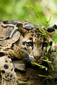 Clouded leopard (Neofelis nebulosa) crouching in the grass. This beautiful wild cat ranges from the Himalayan foothills through Southeast Asia into China. Nature Animals, Animals And Pets, Cute Animals, Wild Animals, Baby Animals, Beautiful Cats, Animals Beautiful, Big Cats, Cats And Kittens