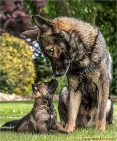 Gsd dad and pup