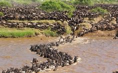 Great migration, Kenya