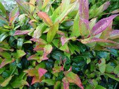 Leucothoe wintergroene plant turf toevoegen bij aanplanten