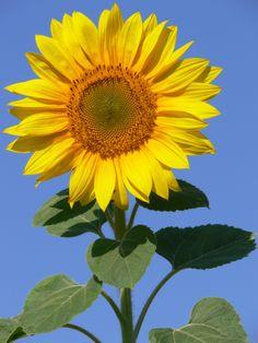 Sonnenblume                                                                                                                                                                                 Mehr