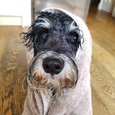 "34 Likes, 2 Comments - Monty-miniature-schnauzer (@monty_miniature_schnauzer) on Instagram: ""Mon tee phone home.... One soggy dog! #hatestherain #wontpoopinthegarden #miniatureschnauzer…"""