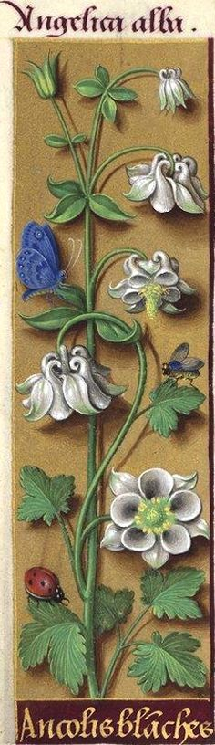 Ancoli[e]s blanches - Angelica alba (Aquilegia vulgaris L. flore albo = ancolie à fleurs blanches) -- Grandes Heures d'Anne de Bretagne, 1503-1508.