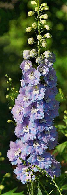 Bicolor Delphinium Canvas Print / Canvas Art by Leda Robertson My Flower, Purple Flowers, Beautiful Flowers, Deco Floral, Arte Floral, English Garden Design, Purple Garden, Dream Garden, Planting Flowers