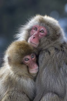 Snow Monkey Mother and Child by Mike Johnson on Animals Amazing, Animals Beautiful, Love Mom, Mothers Love, Animals And Pets, Cute Animals, Wild Animals, Silverback Gorilla, Animal Magnetism