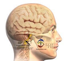 Cerebro Humano Nueva Medicina Germanica Hamer NMG Tronco Tallo Cerebral…
