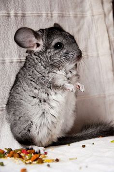 I will buy a chinchilla couple when I get my own apartment :) I will save a chinchilla family from becoming a pathetic fur coat! Fluffy Animals, Cute Baby Animals, Animals And Pets, Hamsters, Rodents, Chinchilla Cute, Exotic Pets, Guinea Pigs, Beautiful Creatures
