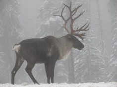 The South Selkirk herd migrates through Kootenai territory and is down to just 14 animals.