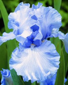 Bonsai Iris Flower Perennia Flower Seeds Rare Flower Seeds bearded iris seeds, Nature plants Orchid flower DIY for Garden Rare Flowers, Bulb Flowers, Amazing Flowers, Beautiful Flowers, Blue Iris Flowers, Crocus Bulbs, Tulip Bulbs, Flower Seeds, Flower Pots