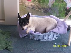 The Trad Pad - 109832066184784422341 - Picasa Web Albums Laundry Basket, Boston Terrier, Albums, Wicker, Dogs, Animals, Picasa, Animales, Animaux
