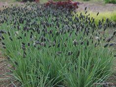 sesleria nitida at DuckDuckGo Plant Life, Plants, Grass, Plant Design, Planters, Perennials, Ornamental Grasses, Back Patio, Garden