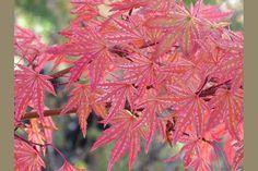 ACER palmatum Higasa yama