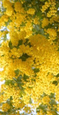 jello Mimosa #Liguria (Riviera dei Fiori) #essenzadiriviera.com www.varaldocosmetica.it/en