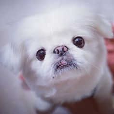 Pekingese. Not sure I can ever go back, they have the BEST personalities! <3