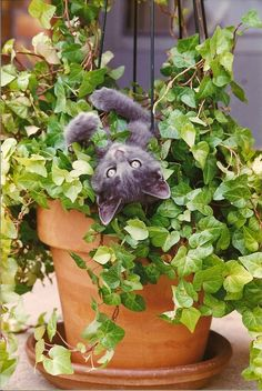 Kitten in an ivy pot