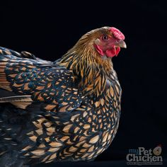 Backyard Chicken Product: Day-Old Baby Chicks - Golden Laced Wyandotte - from My Pet Chicken