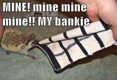 Baby Hedgehog mine mine my bankie