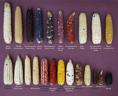 Corn of the Eye Fruit And Veg, Fruits And Vegetables, Rainbow Corn, Glass Gem Corn, Popcorn Seeds, Granita, Fruit Plants, Food Facts, Chinese Food