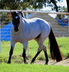 My Final Notice.. Blue Roan Horse