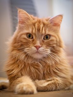 All sizes | Maine Coon | Flickr - Photo Sharing!