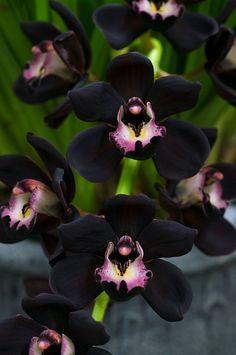 Orquídea negra.