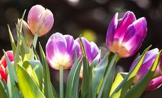 Tulip Bulbs - Fall is the Time to Prepare the Perfect Spring Flower Garden