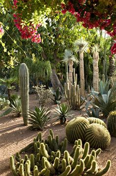 Garden Majorelle. Jacques Majorelle was especially interested in cacti. Out of respect for this passion, Yves Saint Laurent and Pierre Bergé continued to expand the collection, which today includes about thirty members of the cactus family
