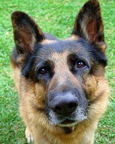 The #GermanShepherd is very loyal and protective of its family. Click here for more info about this #dog breed