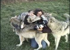 White Wolf: Kissing with wolves: Incredible moment photographer is jumped by a pack of gigantic grays who then Nuzzle him.  If you click through there is a complete description of what happened as well as a short video of it happening.  Just beautiful