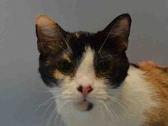 """MUSHOOSHOO - A1039471 - - Brooklyn  ***TO BE DESTROYED 07/06/15 *** THIRD TIME'S THE CHARM!!…..PLEASE MAKE IT COUNT!!! """"FRIENDLY, CURIOUS"""" CALICO CHARMER IS """"VERY RESPONSIVE TO PETTING"""" AND HAS A NEAR-PERFECT BEHAVIOR RATING, BUT WILL DIE BECAUSE SHE SNEEZED – PLEASE GRANT MUSHOOSHOO A DEATH ROW PARDON!!! Darling four-year-old calico cutie MUSHOOSHOO finds herself stuffed into the kill-happy ACC as a supposed """"STRAY"""", bu"""