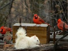 Albino Squirrel and Cardinals. Animals And Pets, Funny Animals, Cute Animals, Bird Pictures, Animal Pictures, Cardinal Pictures, Beautiful Birds, Animals Beautiful, Tier Fotos
