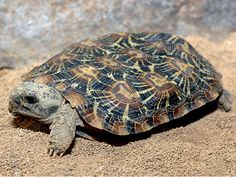 Are you thinking of buying a tortoise to keep? If so there are some important things to consider. Tortoise pet care takes some planning if you want to be. Baby Tortoise, Giant Tortoise, Tortoise Turtle, Sulcata Tortoise, Tortoise Cage, Tortoise Habitat, Kinds Of Turtles, Russian Tortoise, Turtle Love