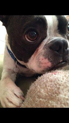 Soulful Gaze #bostie #dogs