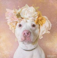 Pit Bulls in Flower Crowns <3 | by Sophie Gamand | Helping raise pit bull awareness