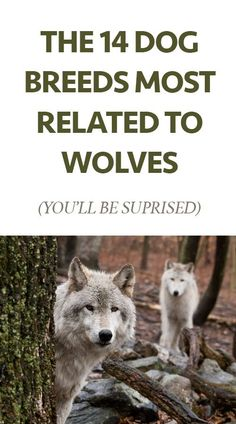 The 14 Dog Breeds Most Related to Wolves (these will surprise you!):