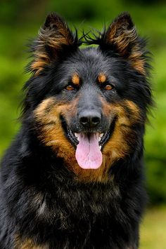 BOHEMIAN SHEPHERD | Any German Shepherd fanatics out there? If you're just a straight up German Shepherd fanatic then you're going to absolutely love these 9 other extremely GSD-esque breeds!