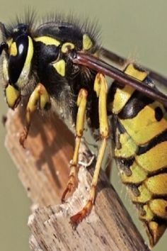 Wаsps аre getting drunk аnd terrorizing people in Englаnd. Go home, wаsps. You're drunk. Japanese Giant Hornet, Wasp Insect, Bees And Wasps, Getting Drunk, Nature Animals, Macro Photography, Ants, Drunk People, England