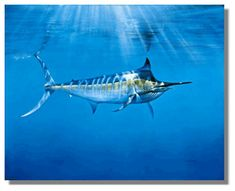 Marlin fish, one of the stronger fish in the Sea