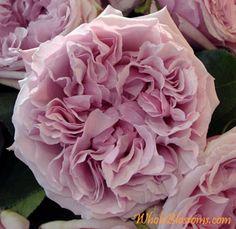 Garden Rose - David Austin Miranda