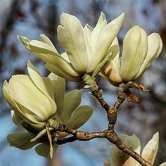 Elizabeth Magnolia Tree-- So pretty in person! I want one!