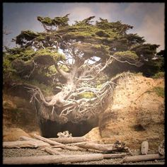 Floating Tree - on Kalaloch Beach - Olympic Peninsula - Washington State