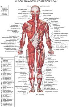 lår anatomi
