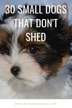 Small Dogs That Don't Shed Looking for a dog breed that won't leave your home with a lot of hair and can accept well apartment living? Check out these 30 small dogs that don't shed. Mini Dogs Breeds, Best Small Dog Breeds, Best Small Dogs, Dog Breeds That Dont Shed, Cute Small Dogs, Toy Dog Breeds, Small Puppies, Dogs And Puppies, Small Small