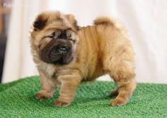 miniature shar pei puppy omg so cute i seriously want
